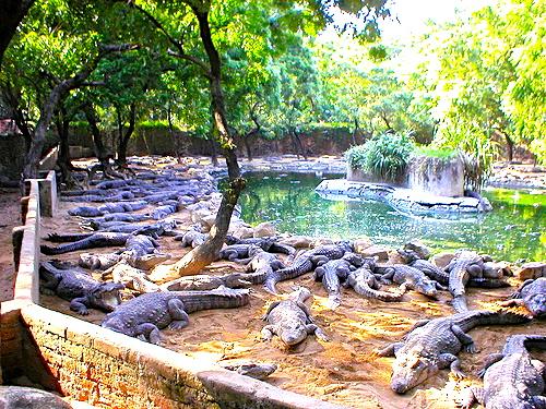 mahabalipuram crocodile park 1